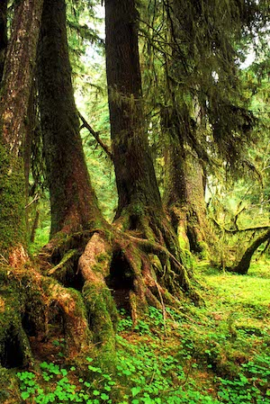 Trees Hoh Rain Forest