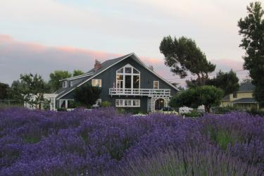 Lavender Time At The Dungeness Barnhouse B&B