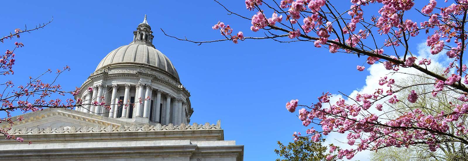 Cherry Blossoms at Capitol