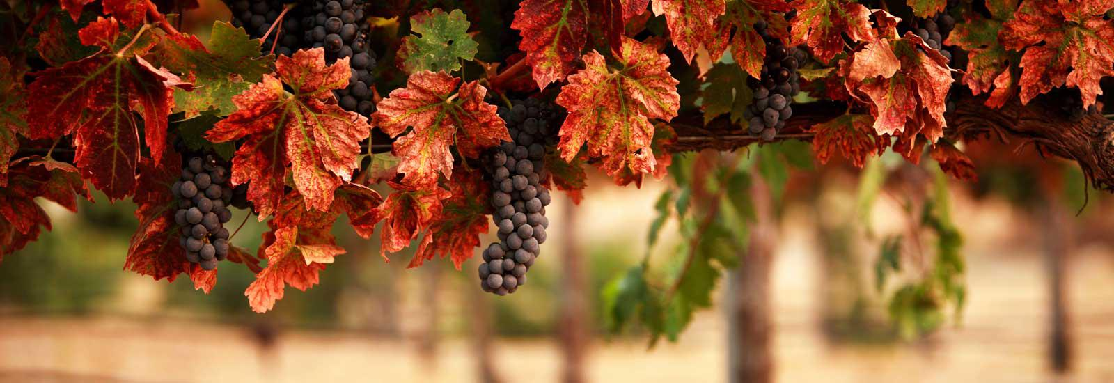 Fall Grapes
