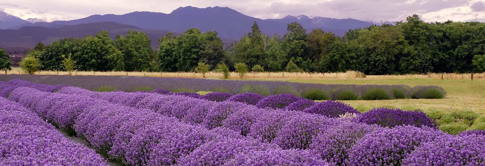 lavender farm and festival